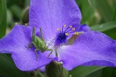 Grashüpfer auf Blüte