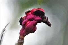 Magnolienfrucht