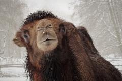 Trampeltier im Schnee